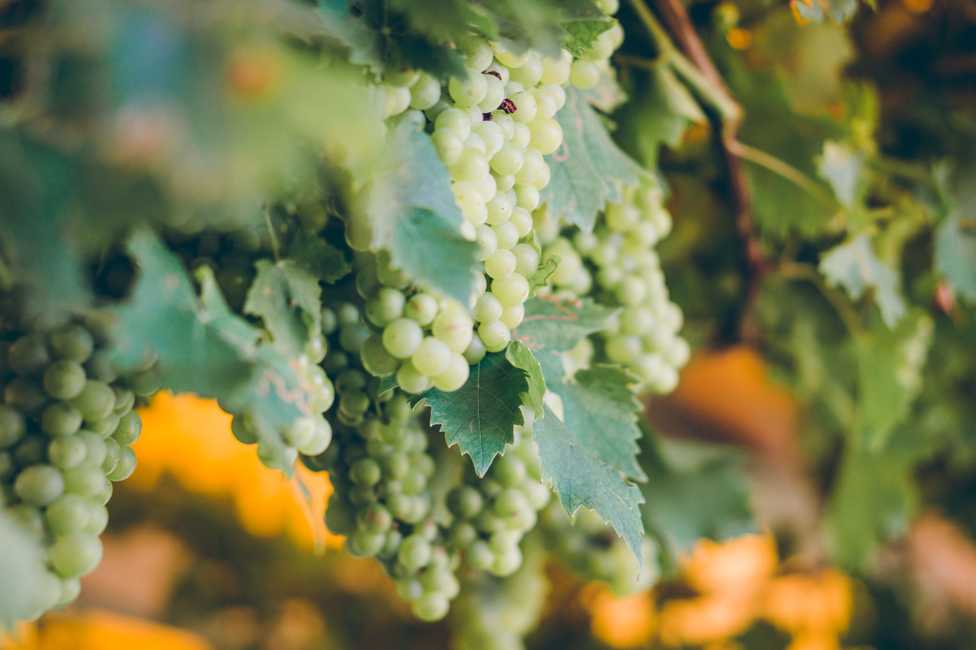 Pralle Weinreben in der Hochzeitslocation in Slowenien